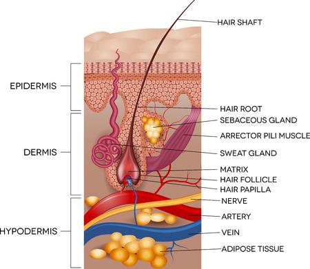 Feliratú bőr és a haj anatómia. Részletes orvosi illusztráció.
