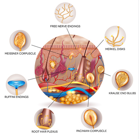 Skin anatomy and Sensory receptors in the skin. Skin anatomy in the round shape. Illustration
