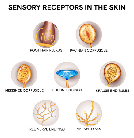 receptors: Anatomy of Sensory receptors in the skin. Round shape