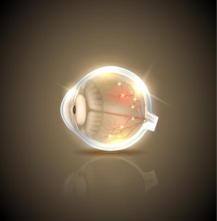 eye ball: Human normal eye anatomy
