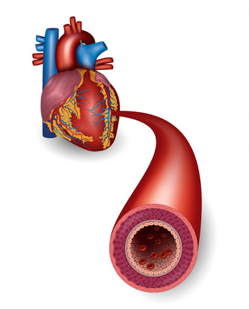 white blood cell: Healthy artery and heart anatomy Illustration