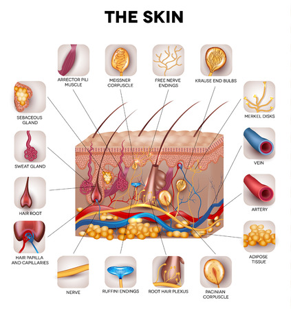 skin structure: Skin anatomy, detailed illustration. Beautiful bright colors.