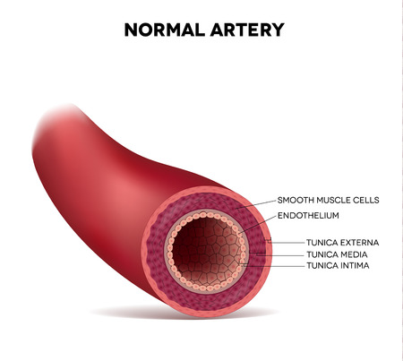 Healthy human elastic artery, detailed illustration Vectores