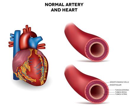 vasos sanguineos: Saludable arteria elástica humana, ilustración detallada