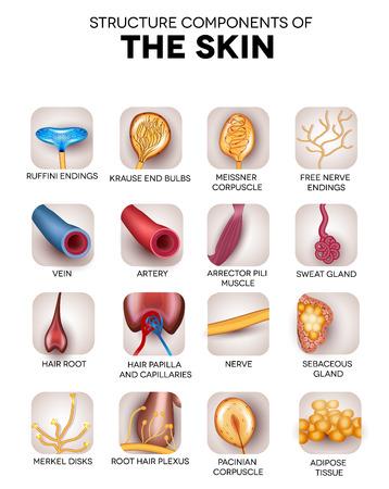 Les composants de la structure de la peau, des illustrations détaillées, des icônes. Peau récepteurs sensoriels; les navires, les cheveux, musculaires, etc. De belles couleurs vives.
