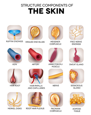 receptors: The skin structure components, detailed illustrations, icons. Skin sensory receptors; vessels, hair, muscle, etc. Beautiful bright colors.