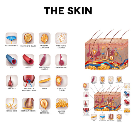 cells: The skin and skin structure components, detailed illustration. Skin sensory receptors, vessels, hair, muscle, etc. Beautiful bright colors. Illustration