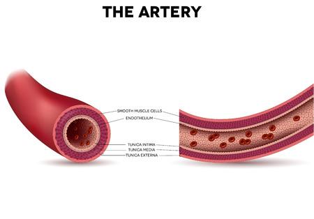 vasos sanguineos: Anatomía de la arteria sana, capas arteriales detalló ilustración. Los eritrocitos dentro de la arteria.
