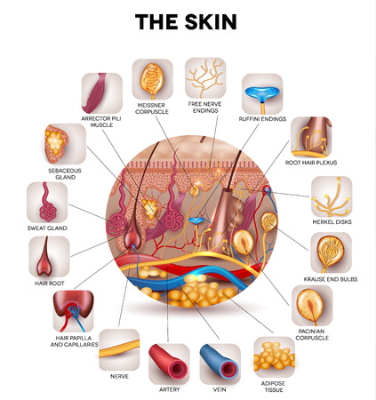 human body parts: Skin anatomy in the round shape, detailed illustration. Beautiful bright colors.