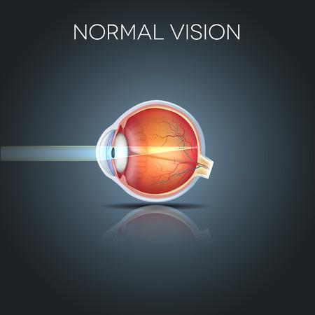eyeball: Normal eye vision, detailed anatomy of the healthy eye Illustration