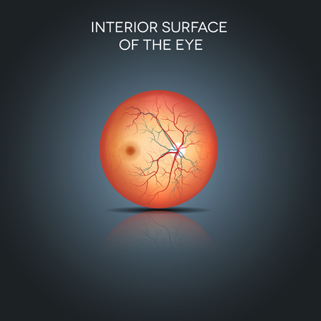 fundus: Anatomy of the interior surface of the eye. Detailed illustration.