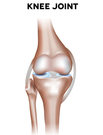 Normal knee joint anatomy. Healthy joint illustration. Иллюстрация