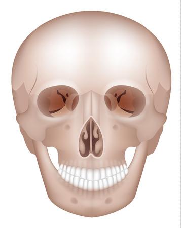 정면: 인간의 두개골 자세한 해부학 정면보기, 화이트에 격리