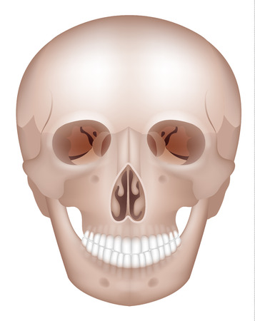 maxilla: Human skull detailed anatomy frontal view, isolated on white Illustration