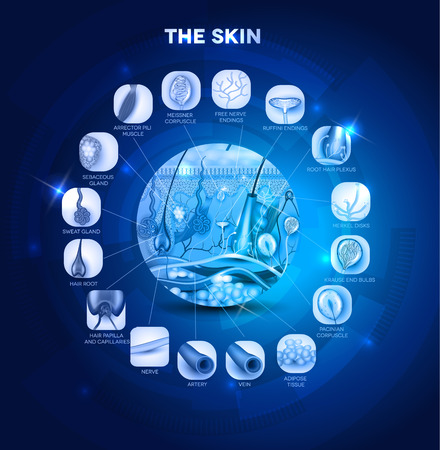 receptors: Skin anatomy in the round shape, beautiful blue design. Detailed structure of the skin.