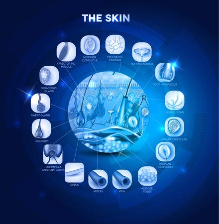 cellule nervose: Skin anatomy nella forma rotonda, bel design blu. Struttura dettagliata della pelle.