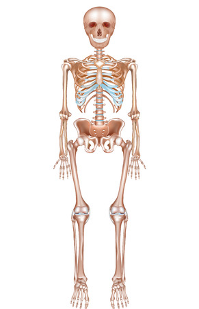 human bones: Human skeleton detailed anatomy on a white background