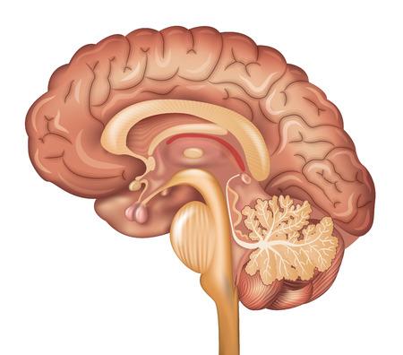 anatomia: Cerebro humano, ilustración detallada. Diseño colorido hermoso, aislado en un fondo blanco.