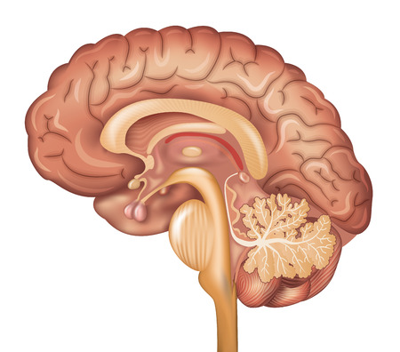 pituitary gland: Human brain, detailed illustration. Beautiful colorful design, isolated on a white background.