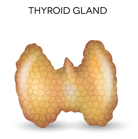 glands: Thyroid gland anatomy, one of the endocrine glands