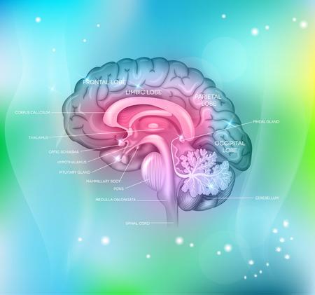 hipofisis: Cerebro humano en un fondo azul claro abstracto, detall� colorida ilustraci�n.