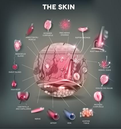 anatomia humana: Anatomía de la piel en la forma redonda, ilustración detallada. Hermosos colores brillantes.