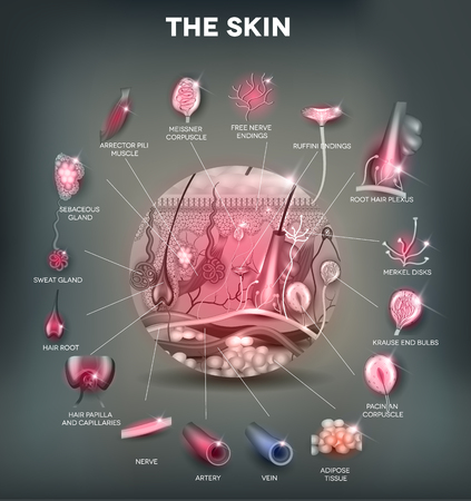 anatomie humaine: l'anatomie de la peau dans la forme ronde, illustration d�taill�e. Belles couleurs vives.