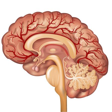 Cerebro y los vasos sanguíneos del cerebro, hermosa colorida ilustración de la anatomía detallada. Corte transversal, aislado en un fondo blanco.