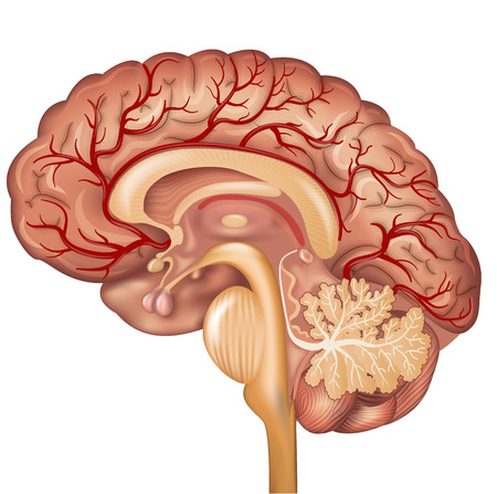 Brain and Blood vessels of the brain, beautiful colorful illustration detailed anatomy. Cross section, isolated on a white background. Illustration