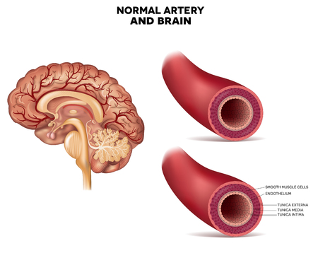 cerebral artery: Normal artery structure and brain detailed anatomy Illustration