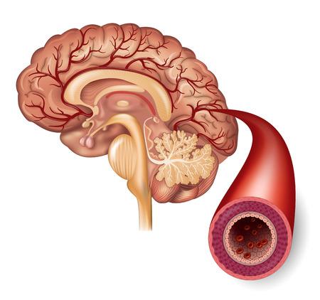 Normale hersenen en slagader structuur gedetailleerde illustratie
