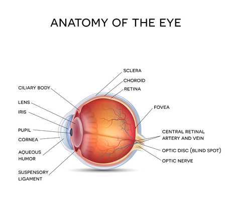 Anatomy of the healthy eye, detailed illustration