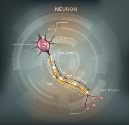 Gelabelde diagram van de Neuron, zenuwcel dat het grootste deel van het zenuwstelsel. Abstracte grijze mesh achtergrond. Vector Illustratie