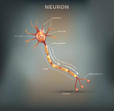 cellule nervose: Neuron, cellula nervosa che è la parte principale del sistema nervoso, bella maglia sfondo grigio Vettoriali