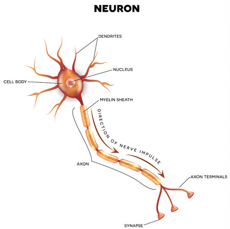 neurone: Labeled diagram of the neuron, nerve cell that is the main part of the nervous system. Illustration