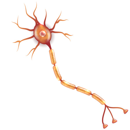 Neuron, nerve cell that is the main part of the nervous system. Isolated on a white background.