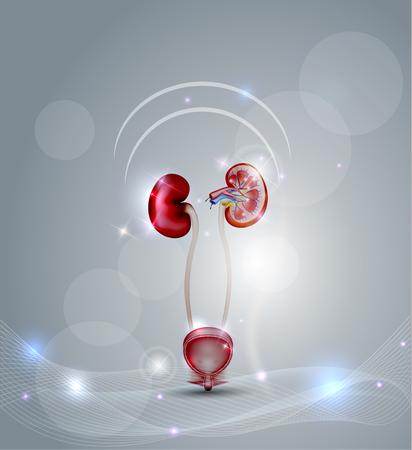 Harnblase und Niere, detaillierten Querschnitt der Niere und der Harnblase. Schöne abstrakte Hintergrund mit Lichtern. Vektorgrafik