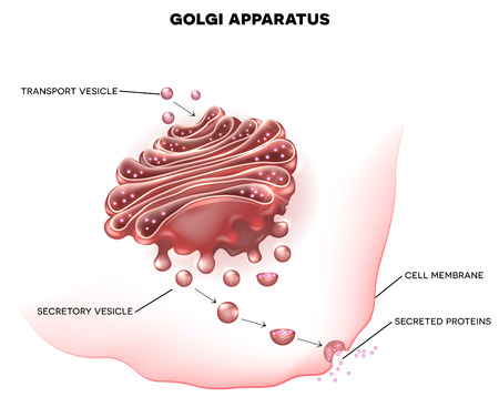 extracellular: Golgi apparatus a part of the eukaryotic cell. Detailed labeled illustration Illustration