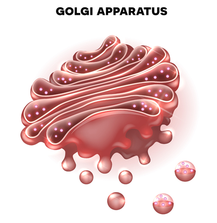 Golgi apparatus a part of the eukaryotic cell. Detailed illustration