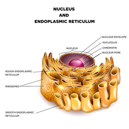 membrana cellulare: Nucleo cellulare e reticolo endoplasmatico anatomia dettagliata con descrizione