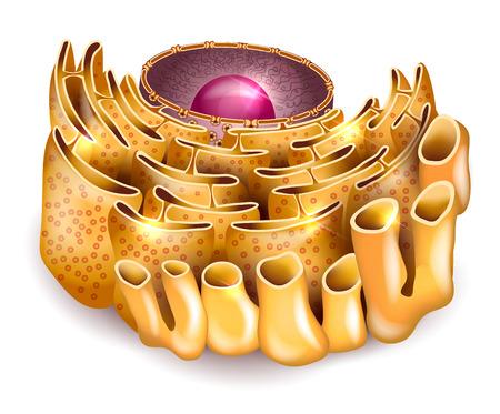 흰색 배경에 세포핵과 소포체 상세한 해부학 일러스트