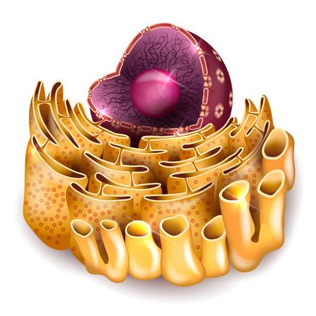 細胞核、小胞体の白い背景の解剖学の詳細  イラスト・ベクター素材