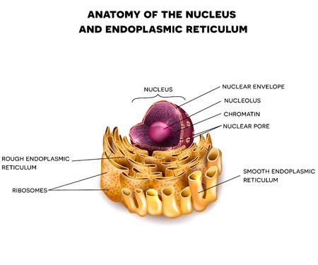 세포 핵 및 설명과 함께 소포체 상세한 해부학