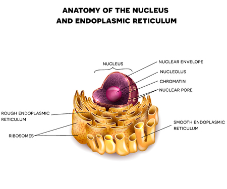 ribosomes: Cell Nucleus and Endoplasmic reticulum detailed anatomy with description