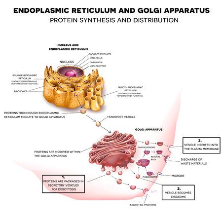 소포체와 골지 장치. 단백질 합성 및 유통 상세 도면 일러스트