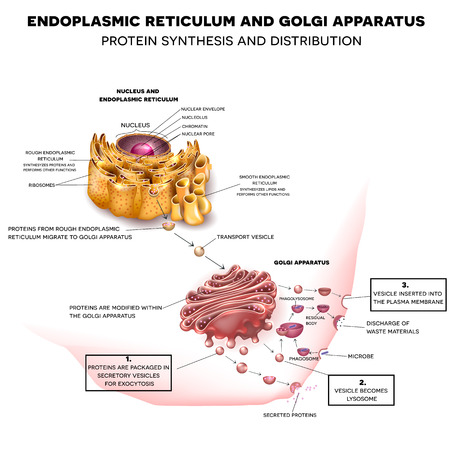 ribosomes: Endoplasmic reticulum and Golgi Apparatus. Protein synthesis and distribution detailed drawing Illustration