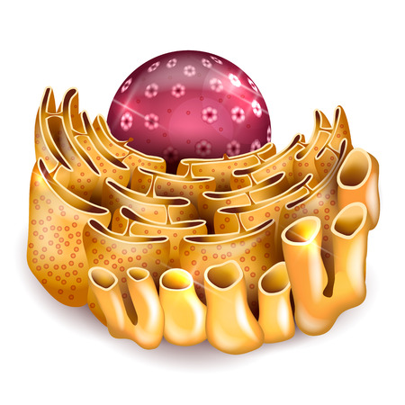 endoplasmic: Cell Nucleus and Endoplasmic reticulum anatomy