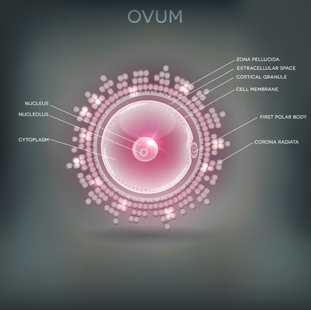 blastocyst: Ovum detailed drawing, beautiful design on a grey mesh background