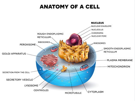 celulas humanas: estructura de la célula, la sección transversal de la celda se detalla la anatomía colorido con la descripción