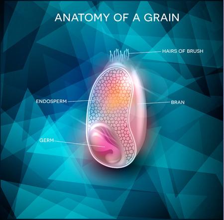 Anatomía del grano en un fondo abstracto triángulo. Corte transversal de un grano. Endospermo, germen, el salvado y la capa de pelos de pincel.